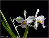 Laelia purpurata semi-alba