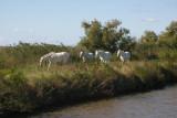 Vilde heste ved Canal Du Midi