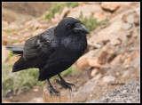 Raven - it´s not from a zoo, but a free bird!