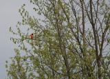 Ukendt fugl for mig - han! - Ottawa