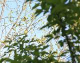 Ukendt fugl for mig - hun! - Ottawa