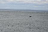 Hvaler i St Lawrence River