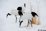Red-Crowned Crane DSC_9349