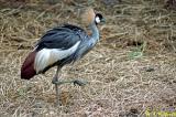 Crowned Crane 01