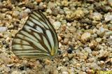 Cepora nerissa (黑脈園粉蝶)