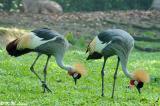 Crowned Crane 03
