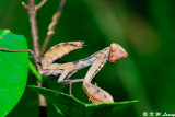Mantis (螳螂)
