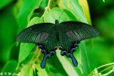 Papilio bianor (碧鳳蝶)