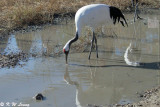 Red-crowned crane DSC_5979