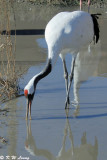 Red-crowned crane DSC_5976