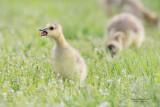 goose_duck_gull_heron