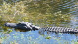 Gators, as the locals call them, are prehistoric-looking