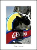Cows in Lisboa 19