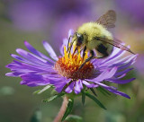 Bumble Bee On A Purple Flower 19718