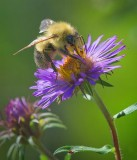 Bumble Bee On A Purple Flower 19713
