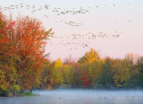 Geese In Flight At Sunrise 20081007