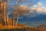 Lake Erie Birches Near Sunset... 20081027