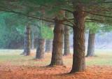 Pine Trees 20081101