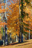 Autumn Trees 24684