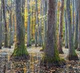 Cypress Swamp In Autumn 20081110