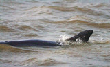 Dolphin In The Lake 32840