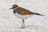 Killdeer 34357