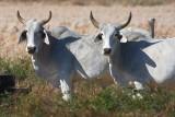 Texas Cattle 34922