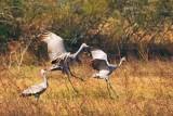 Cranes of Texas