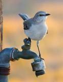 Mockingbirds of Texas