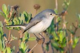 Blue-gray Gnatcatcher 39180