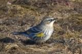 Yellow-rumped Warbler 40614