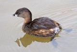 Pied-billed Grebe 20090216