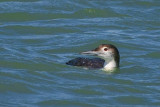 Common Loon 43218