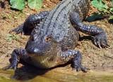 American Alligator 45108