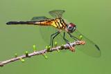 Dragonfly 45998