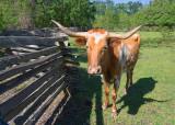 Texas Longhorn 46523