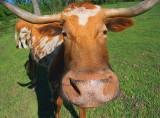Texas Longhorn Upclose 46520