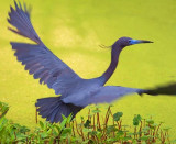 Little Blue Heron Taking Flight 20090401