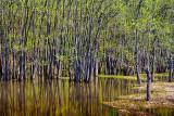 Mississippi Swamp 47131