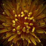 Dandelion Closeup 48238