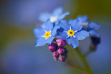 Forget-me-not Flower 20090525