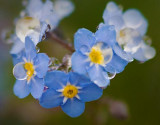 Wet Forget-me-nots 49242-3