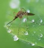 Mosquito Closeup 49383-5