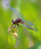 Dragonfly 00591