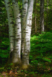 Four Birches 49550