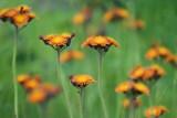 Orange Hawkweed 20090620