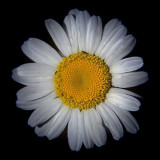 Dirty Daisy 01686