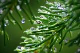 Wet Pine Needles 20090701