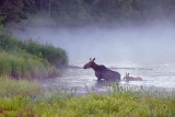 Cow Moose with Calf 20090705