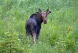 Curious Moose 02916